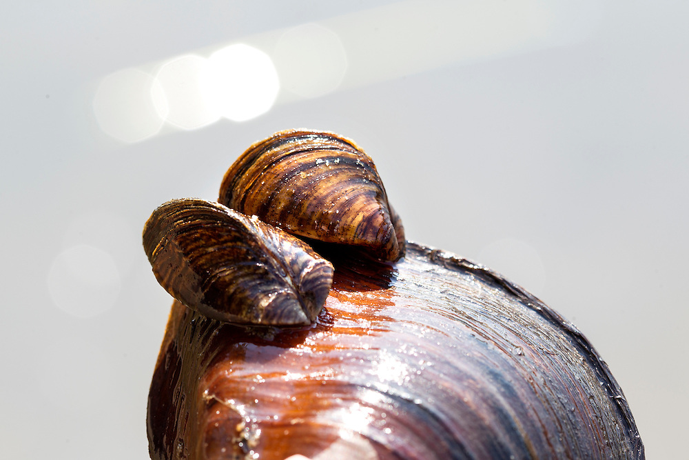 Two Zebra mussels are found attached to a native mussel in the Mississippi River August 14, 2015.