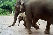 Chiang Ria - Elephants