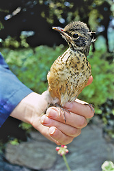 American Robin Being Rehabilitated
