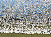 """Snow Geese are typically seen in large flocks up to 55,000 in winter in western Washington, USA. Most gather in the Skagit River Delta (Skagit County) between the towns of Mount Vernon and La Conner (near Fir Island Road and Best Road) from mid-October to early May. Published in """"Light Travel: Photography on the Go"""" book by Tom Dempsey 2009, 2010."""