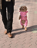 A poodle named Barbie walks on his hind legs