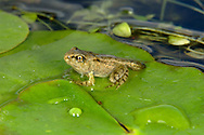 Common Frog Rana temporaria Length 6-10cm Widespread amphibian. Adult male has smooth, moist skin. Usually olive-yellow or greyish brown with variable dark blotching and spots. Darker red animals occur in uplands. Eye has yellow iris with dark, oval pupil. Dark mask runs from eye to eardrum. Underparts are greyish white with faint darker marbling. Hind feet have five webbed toes. In breeding season, acquires bluish throat and swollen nuptial pads on innermost digit of front feet, used for gripping female when mating. Adult female is similar but larger with white granulations on the flanks. Juvenile, when newly metamorphosed resembles miniature adult but with large head. Male utters low-pitched croaking calls when courting. Found in a wide range of habitats if still water is present for breeding. Easy to see in early spring when courting.