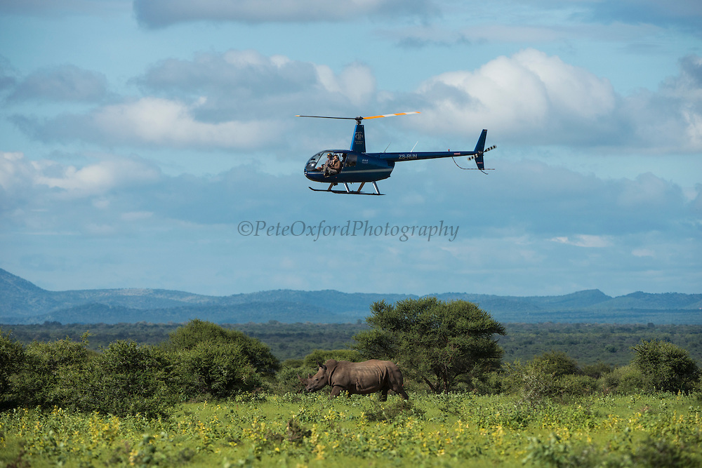 White rhinoceros (Ceratotherium simum) being darted for ear notching<br /> , <br /> SOUTH AFRICA<br /> RANGE: Southern & East Africa<br /> ENDANGERED SPECIES