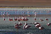 Flamingos can be found in many of the lakes in the Bolivian Altiplano - these ones are in the rather windswept Laguna Hedionda, where there is a small collection of buildings, including a hostel.