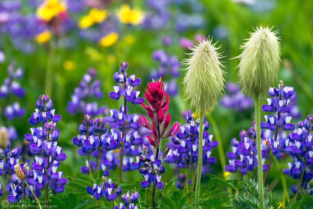 Broadleaf Lupines (Lupinus latifolus), Western Anemone seedheads (Anemone occidentalis) and Common Paintbrush (Castilleja miniata) in Mount Rainier National Park in Washington State, USA.