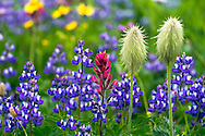Broadleaf Lupines (Lupinus latifolus), Western Anenome seedheads (Anenome occidentalis) and Common Paintbrush (Castilleja miniata) in Mount Rainier National Park in Washington State, USA.