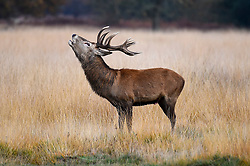 © Licensed to London News Pictures. 09/11/2019. LONDON, UK. A red deer stag in Richmond Park roars during the annual rut.  The rut occurs during October and November where stags compete for mating rights.  Photo credit: Stephen Chung/LNP