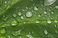 Raindrops collect on a Lady's Mantle (Alchemilla) leaf in a Fraser Valley garden