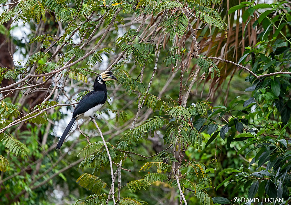 """According to """"Wikipedia"""" - Great hornbills are found in the forests of India, Bhutan, Nepal, Mainland Southeast Asia, Indonesian Island of Sumatra and North eastern region of India. The distribution of the species is fragmented over its range in the Indian subcontinent and Southeast Asia."""