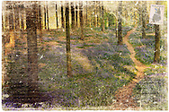 Hallerbos or the Bois de Hal in French is carpeted with bluebells every spring.