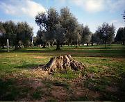 Ulivi infetti dal virus Xylella fastidiosa, Squinzano (Brindisi) 3 gennaio 2016. Christian Mantuano / OneShot
