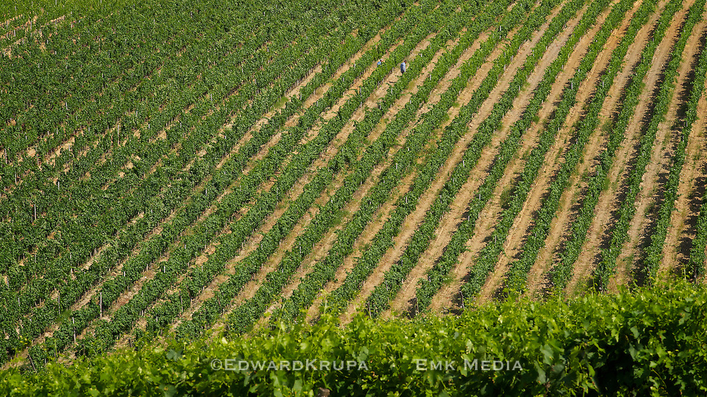 Vineyards at La Selva Estates, Chianti, Tuscany, Italy.