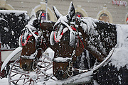 Vienna, Austria. Snow covered Fiaker horses at St. Stephen's square. .On 1/17/2013, 30+ centimeters of snow fell in Vienna, slowing down many aspects of public life.