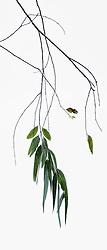 Eucalyptus camaldulensis #6