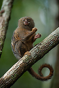 Pygmy Marmoset (Cebuella pygmaea)<br /> Cocaya River. Eastern Amazon Rain Forest. Border of PERU &ECUADOR. South America<br /> Smallest true monkey in the world. <br /> RANGE: New World monkey native to the rainforest canopies of western Brazil, southeastern Colombia, eastern Ecuador, eastern Peru, and northern Bolivia.