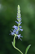 SPIKED SPEEDWELL Veronica spicata (Height to 60cm) is a familiar garden perennial that is also a rare native of Breckland grassland; in addition, it occurs, very locally, in Wales and W England. The bluish flowers are borne in spikes, 8-10cm long (Jul-Sep).