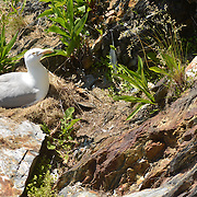 EAGLE ISLAND, Maine -- June 23, 2014 -- A seagull in her nest on Eagle Island.  <br /> Photo © Roger S. Duncan 2014.