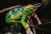 A three-horned or Jackson's chameleon (Trioceros jacksonii), ,Bwindi Impenetrable Forest, Uganda, Africa