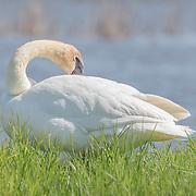 Trumpeter swan (Cygnus buccinator) preens beside pond in marsh environment. Photographed at Ottawa NWR.