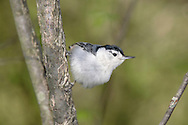 White Breasted Nuthatch, Posing In Typical Fashion, Sitta carolinensis