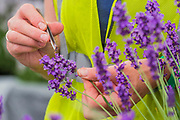 Lavender in Downderry Nursery is prepared with tweesers - Preparations for the Hampton Court Flower Show, organised by teh Royal Horticultural Society (RHS). In the grounds of the Hampton Court Palace, London.