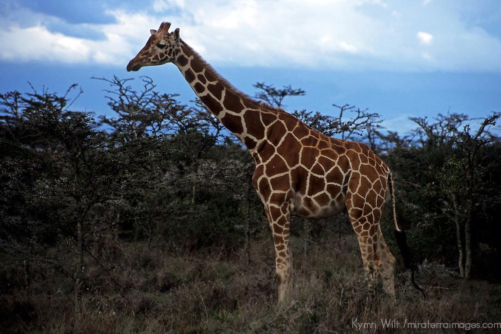 Africa, Kenya, Nanyuki. Reticualated Giraffe at Sweetwater Game Reserve.