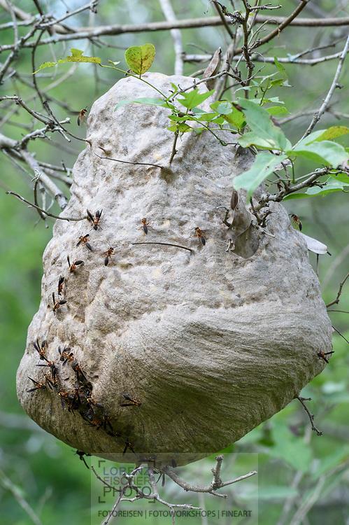 Wespennest im Norden des Pantanals, Transpantaneira, Brasilien<br /> <br /> A wasp's nest in the northern Pantanal, Tranpantaneira, Brazil