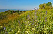 Wildflowers on the shore of the St. Lawrence River. Viper's Bugloss (Echium vulgare) and rose (Rosa sp.), L'Isle-aux-Coudres, Quebec, Canada