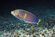 yellowtail coris or rainbow wrasse, <br /> Coris gaimard, Sipadan Island,<br /> off Borneo, Malaysia ( Celebes Sea )