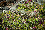 A green iguana basking atop bouganvelia.  In Puerto Rico they are considered an invasive, non-native species.