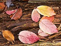 Euonymous Evonimus sp. and beech Fagus sylvatica dead leaves on a stump, Plitvice National Park, Croatia
