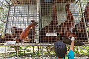 A veterinarian holds the hand of an orang-utan in a cage in Nyaru Menteng Rehabilitation Centre, run by the Borneo Orangutan Survival Foundation, in Central Kalimantan, Borneo, Indonesia on 22nd May 2017. The centre houses around 450 rescued orangutans who have been displaced from their habitats by human activity. After extensive rehabilitation and preparation, many of them will be reintroduced into the wild, but some animals have illnesses or injuries that means they have to remain in the sanctuary indefinitely.