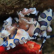 Harlequin shrimp (Hymenocera elegans) eating a red starfish in Ambon, Indonesia