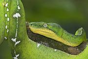 Emerald Tree Boa Snake, Corallus caninus, rainforests of South America, nocturnal, carnivore, portrait.Central America....