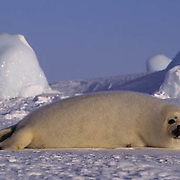 Harp Seal, (Pagophilus groenlandicus) Pup resting on ice pack. Nova Scotia. Canada. Spring.