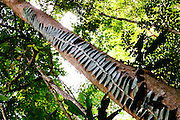 Climbing plant up trunk of Dipterocarp Tree in Peradayan Forest Reserve, Brunei