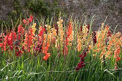 The gladiolus trial at Parham House. Includes Gladiolus' Espresso', 'Peach Melba', 'Live Oak' and 'Carthago'.