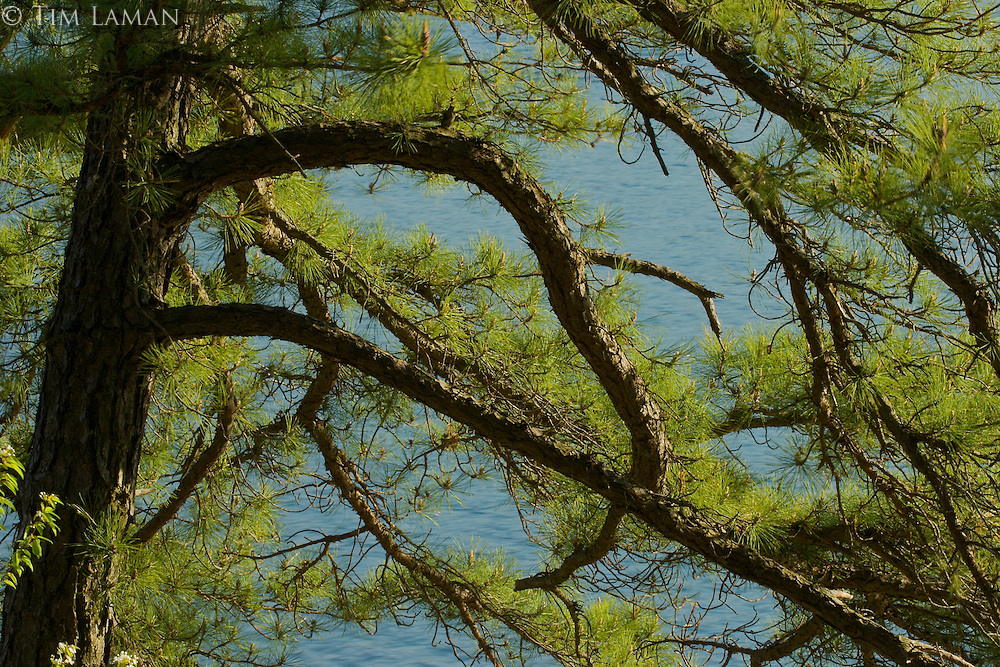 Pine branches frame the waters of Walden Pond.