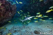 juvenile gray reef shark, Carcharhinus amblyrhynchos, and bluestripe snapper or taape, Lutjanus kasmira, Mahaiula, North Kona, Hawaii (the Big Island),  United States ( Central North Pacific Ocean )