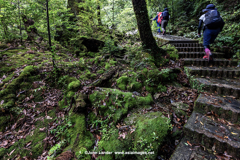 Hikers at Shiratani Unsuikyo Ravine is a lush nature park containing many of Yakushima island's ancient cedars.  The park offers a network of hiking trails that run along the ravine varying in length from one to five hours long, though many prefer to choose their own routes among the paths. The trails vary in difficulty from basic footpaths to developed paved paths using stone and wood.  One of the main attractions of Shiratani Unsuikyo is a part of the forest that served as the inspiration for the Studio Ghibli animated film Princess Mononoke. Oga Kazuo, the lead artist for the film, spent lots of time here working on sketches for the movie's forests.  Besides the ancient cedar trees, some of them thousands of years old, the continually wet microclimate protects the cedars by enabling them to produce more than usual resin,  It also is an ideal climate for moss, which grows everywhere here.