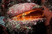 UNDERWATER MARINE LIFE WEST PACIFIC, generic reef oyster Spondylus aurantius