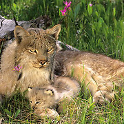 Canada Lynx, (Lynx canadensis) Mother and kitten. Montana.  Captive Animal.