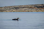 I was very surprise to see a loon, near the bay in October.