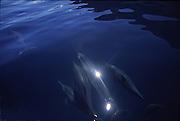 Dolphin, Hawaii<br />