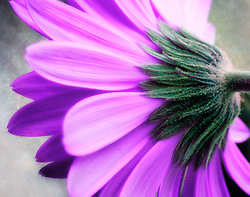 Macro Closeup Of A Purple Daisy With A Fine Art Feel
