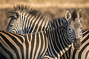View of zebras family in Mlilwane Wildlife Sanctuary, Eswatini