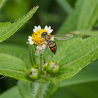 A Margined Calligrapher fly (Toxomerus marginatus) on a Shaggy Soldier flower (Galinsoga quadriradiata) in Central Park, Aug. 3, 2021.