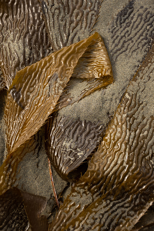 Giant Kelp (Macrocystis pyrifera), Kalaloch Beach 4, Olympic National Park, Washington, US