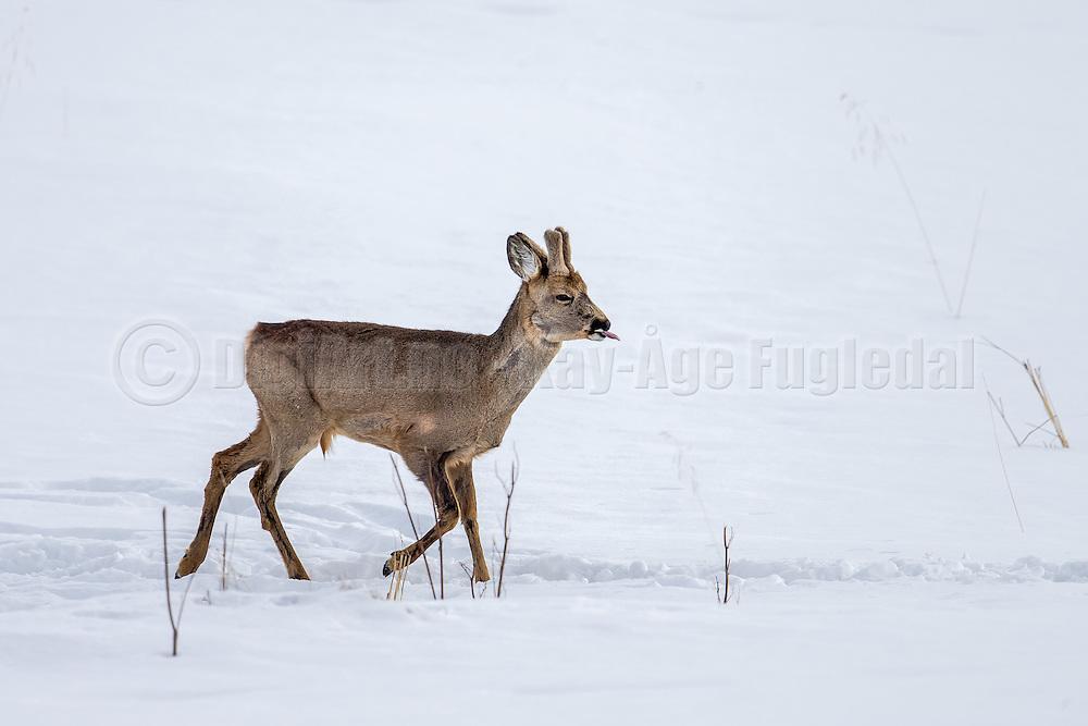 Roe Deer crossing an open field, and stretching tongue | Rådyr krysser et åpent jorde og strekker tunge.