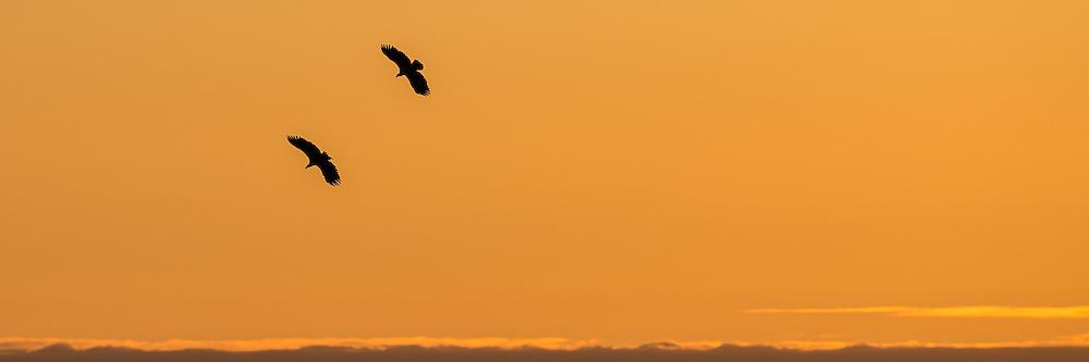 Eagle silhouette, taken from Runde, Norway   Ørner i silhuett, tatt fra Rundefjellet
